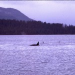 Killer Whales in front of Sitka House